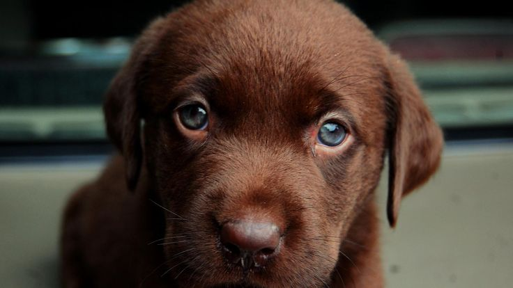 Cute Chocolate Lab Puppies With Blue Eyes: Chocolate Labrador With Blue Eyes