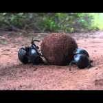 True Facts About The Dung Beetle by Ze Frank