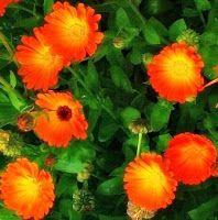 Эликсир молодости: Этот волшебный желто-оранжевый цветок
