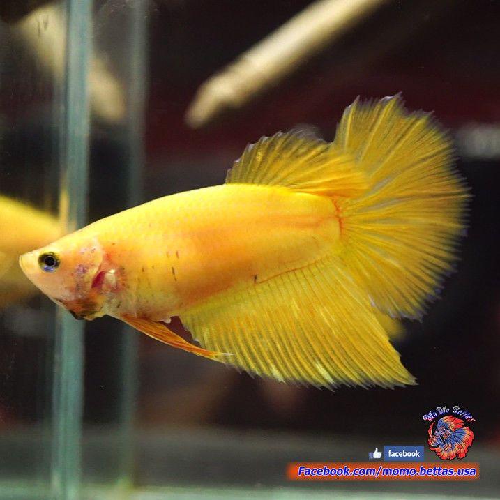 Live Betta Fish Female Solid Mustard Rosetail Halfmoon Hm 3346
