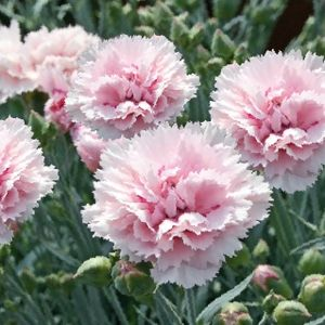 25 best ideas about oeillet sur pinterest noces d for Fleuriste jardin des fleurs