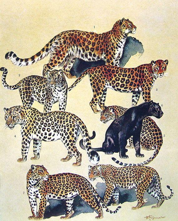 Animal Print - Amur Leopard, Persian Leopard, Fur Seal, Chilean Fur Seal - 1968 Vintage Print - Mammals from Animal Encyclopedia
