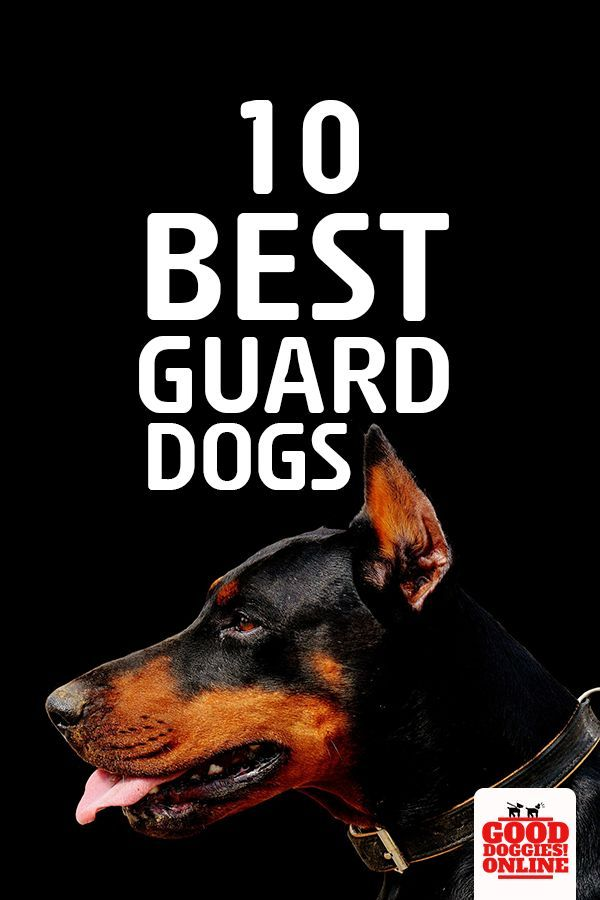 10 Best Guard Dogs Breed To Keep You Home Safe Best Guard Dog