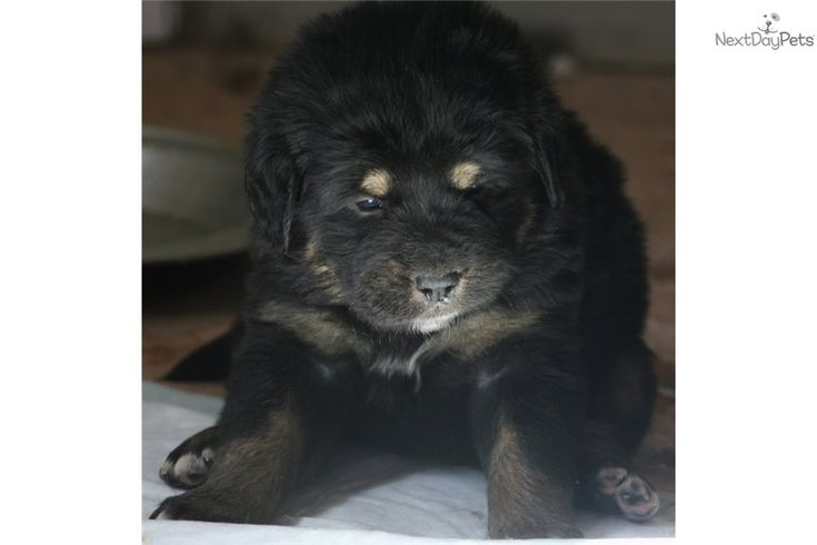 Tibetan Mastiff puppies for sale. You'll love this Female Tibetan Mastiff puppy for sale near Show Low, Arizona. Tibetan Mastiff for sale