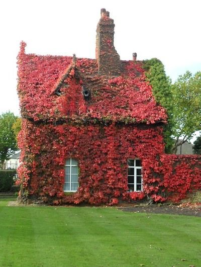 A great front yard design is to add vines to the house. Some people don't like to do this...but I do! Gate keepers Cottage over grown with Boston Ivy, now completely red with leaves falling, Dartmouth Park , Sandwell, England