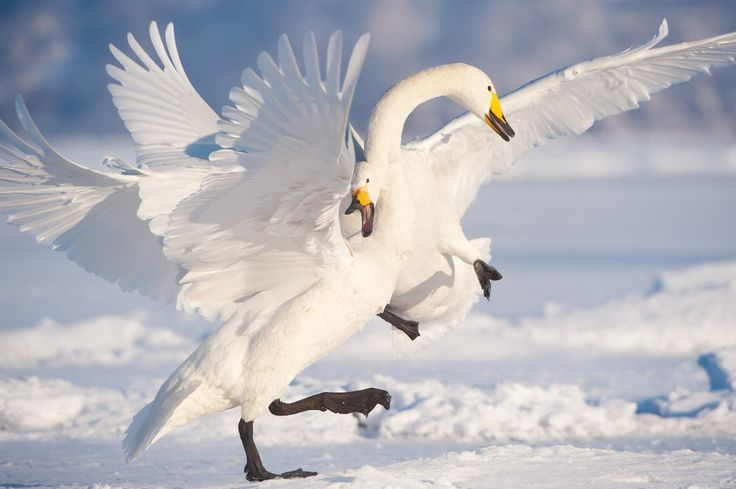 17 February 2010 Hokkaido, Japan Whooper swans fighting.