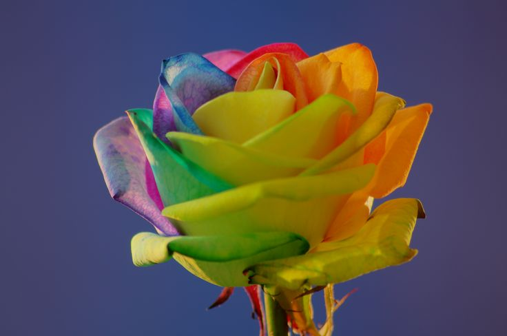 Rainbow roses 10 handpicked ideas to discover in gardening for Rainbow rose wallpaper