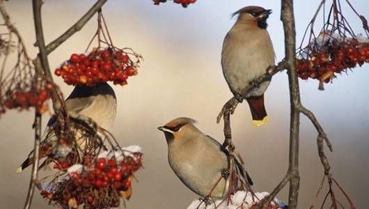 10 Berries That Birds Love