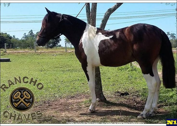venda de potro crioulo no N1 Cavalos