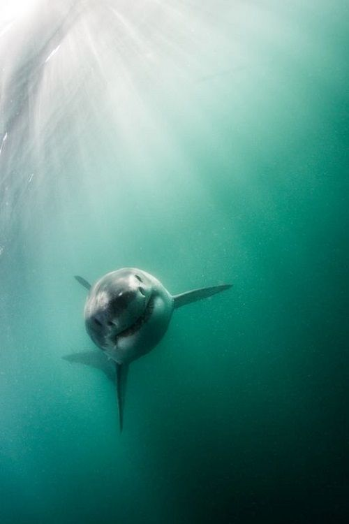 "wolverxne: ""Great White Shark - by: [Morne Hardenberg] """
