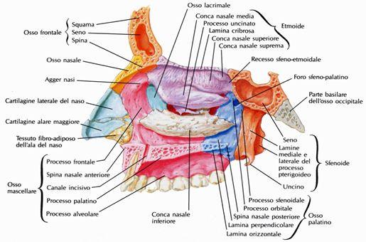 Parete laterale della cavità nasale