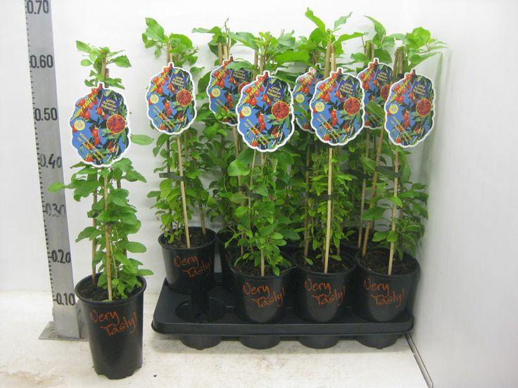 60-70 cm gojibeere bocksdorn heilpflanze lycium barbarum selbstfruchtend winterhart