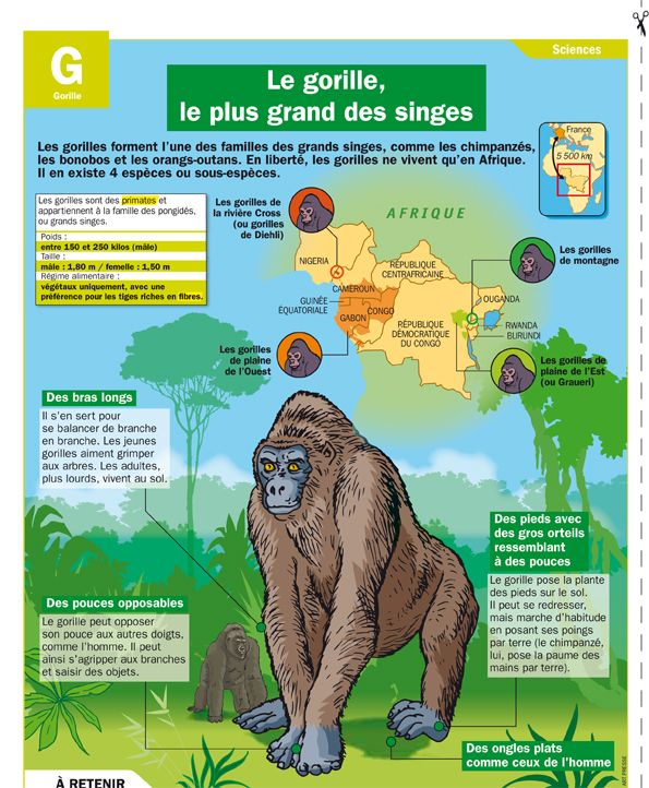Fiche exposés : Le gorille, le plus grand des singes