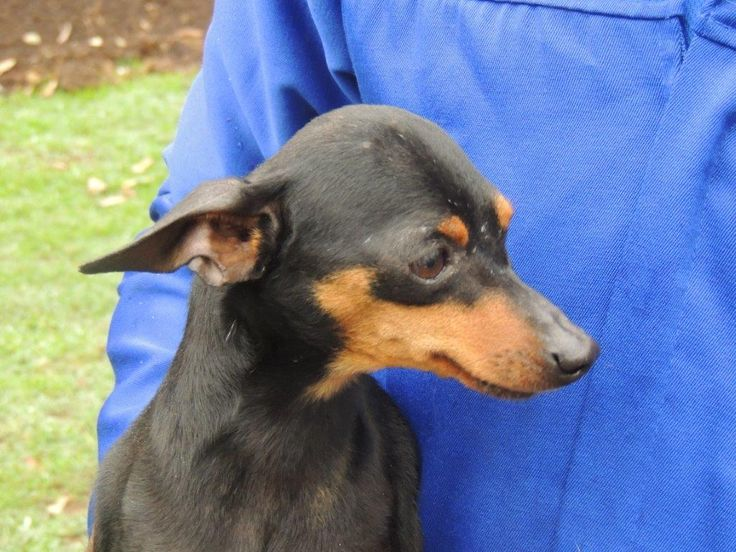 Kennel 54:  Female Min Pin, black and tan.