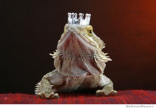 dragons barbus a chapeau 7   Dragons Barbus à chapeau   Pogona Vitticeps pogona photo image dragon chapeau barbe