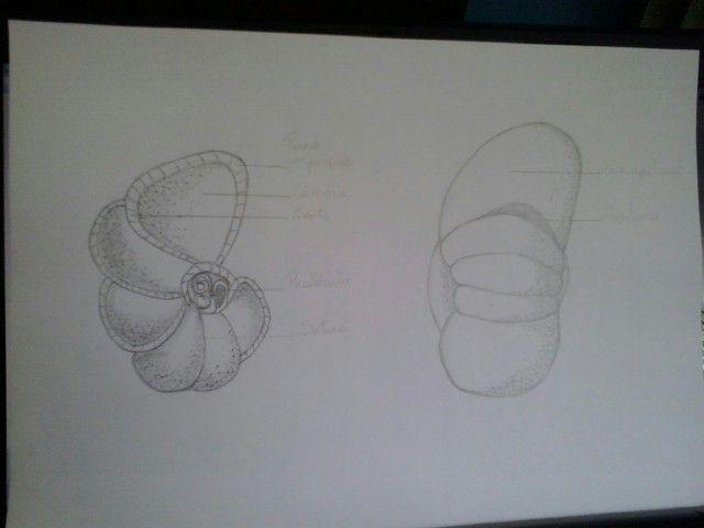foraminíferos