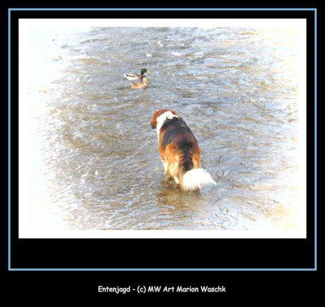Entenjagd, Enten, Hund, Bretone, Berner Senne, Fluss, baden, Jagen, MW art Marion Waschk, Vogel, Dog, puppy, Hundefutter, Hundeschule, Jäger,  Fotografie, Fotobearbeitung, Welpen,  Hundeerziehung,