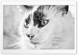 Beautiful Cat HD Wide Wallpaper for Widescreen