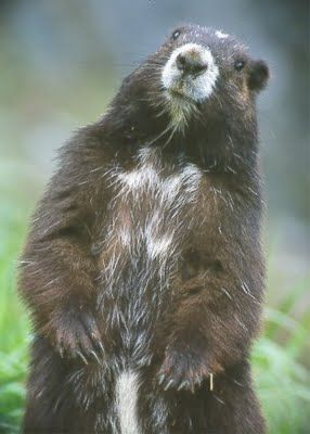 Vancouver Island Marmot - One of Canada's most endangered species.
