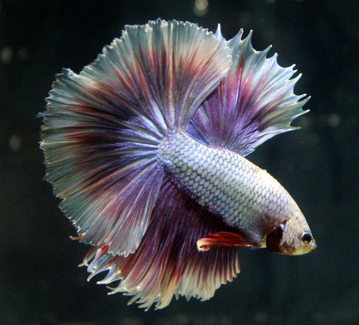 103 best images about bettas on pinterest copper for Big betta fish