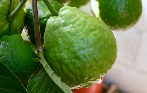 Easy Remedy for Piles Eating Guava for few days completely cures Piles. One to two Guavas a day is enough to bring about the healing. The healing time varies from person to person. The patient should also switch to vegetarian diet during the course...
