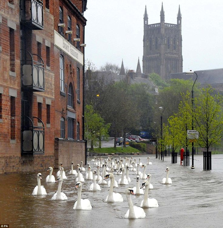 Swams swimming through the streets of Worcester, England after a flood.