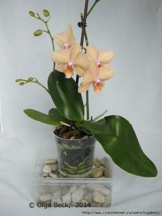 Мобильный LiveInternet Почему у орхидеи вянут цветы и бутоны. Проблемы цветения. | Der_Engel678 - Дневник Der_Engel678 |