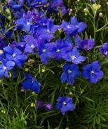 Morpho Grand Blue Larkspur (Delphinium grandiflorum 'Morpho Grand Blue') - Monrovia - Morpho Grand Blue Larkspur (Delphinium grandiflorum 'Morpho Grand Blue')