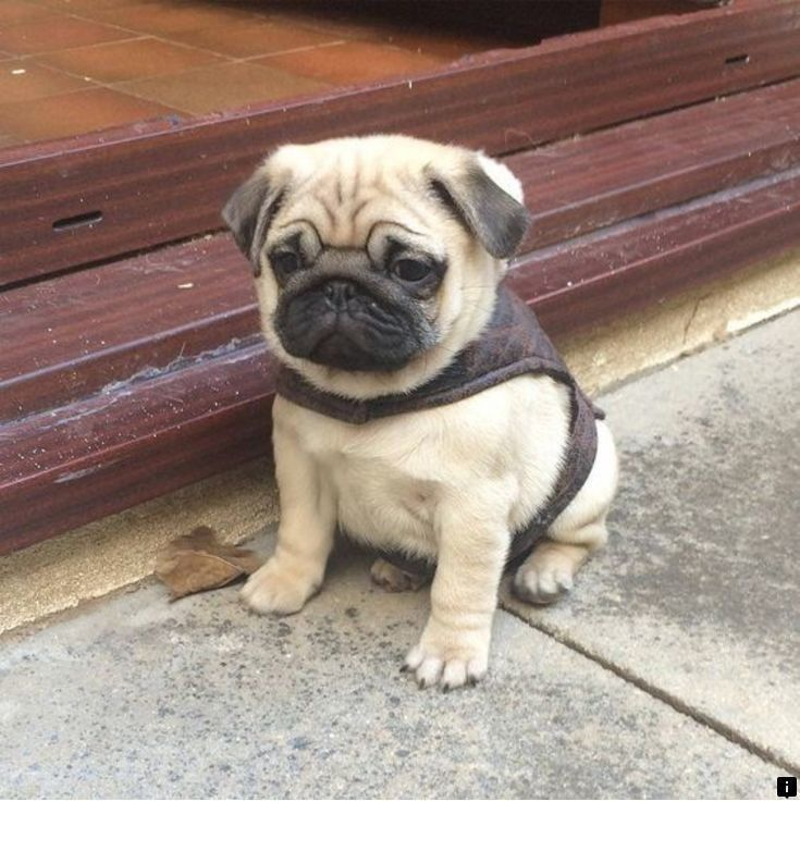 Click On The Link For More Information Black Pugs For Sale Near Me