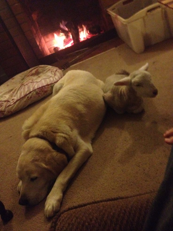 Pet lamb and Labrador keeping warm in front of an open fire.