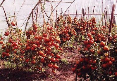 Выращивание помидор по Маслову. Увеличение урожая в 8 раз