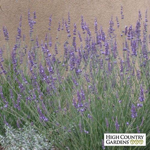 Gros Bleu French hybrid Lavender   Lavandula intermedia Gros Bleu   High Country Gardens