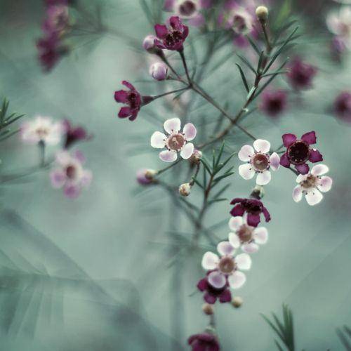 Geraldton Wax Chamelaucium uncinatum
