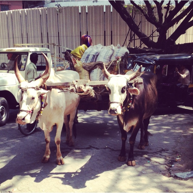 Bullock Cart at a Busy Junction in Mumbai!!!