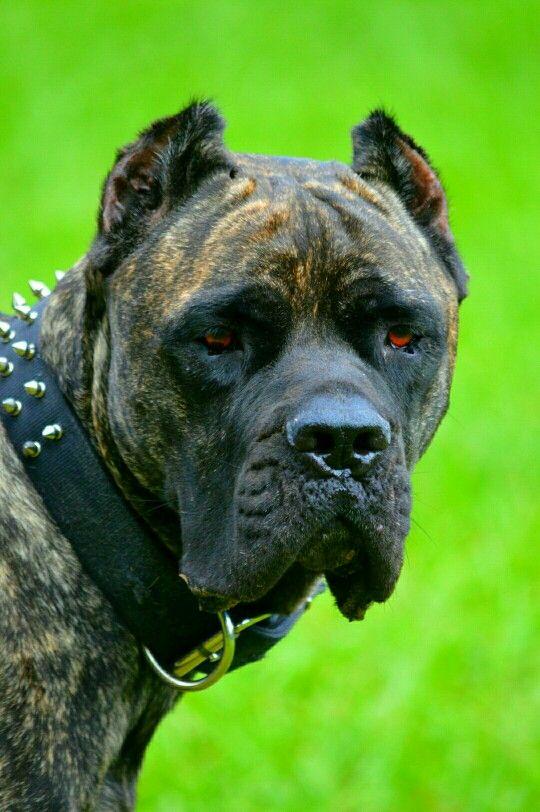 Cane Corso Mastiff, Crixus