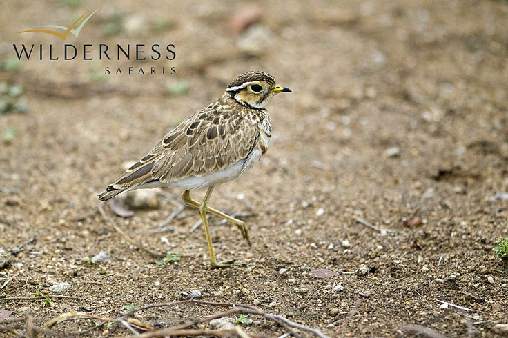 Pafuri Walking Trail - Pafuri provides outstanding birding, and has a good number of resident specials, such as the three-banded courser. #Safari #Africa #SouthAfrica #WildernessSafaris