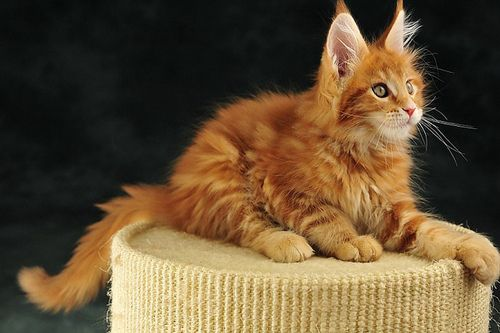 Maine Coon Kitten! Believe it or not but yes this is a kitten. Beautiful cats they are!