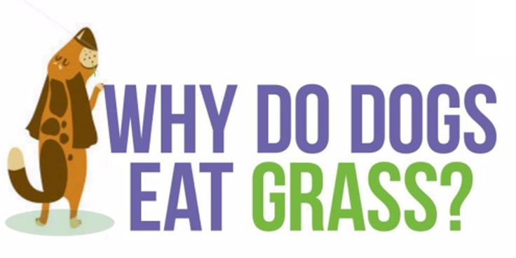 No one really knows why dogs eat grass. Theories range from behavior to nutrient deficiencies to illness or simply because they like it! Whether it's to provide a little extra fibre, vitamins, and minerals or simply because they like the taste, bottom line it is safe for them to eat.  #animals #didyouknow #dogs