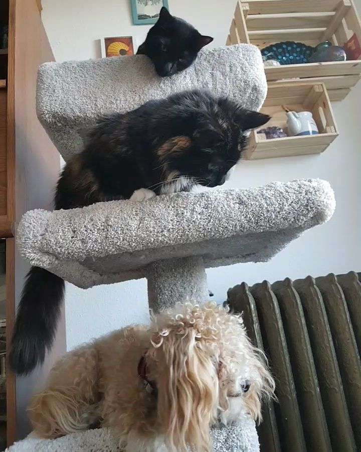 Here is a picture of my puppies Kermit Shiva and Zelda. (Bottom to top) the outer two love each other.. the middle one can't stand the other two =D #dogpictures #dogs #aww #cuteanimals #dogsoftwitter #dog #cute