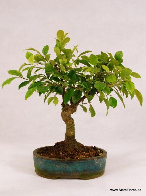 Bonsái Ficus. Venta Online de bonsáis en Zaragoza.