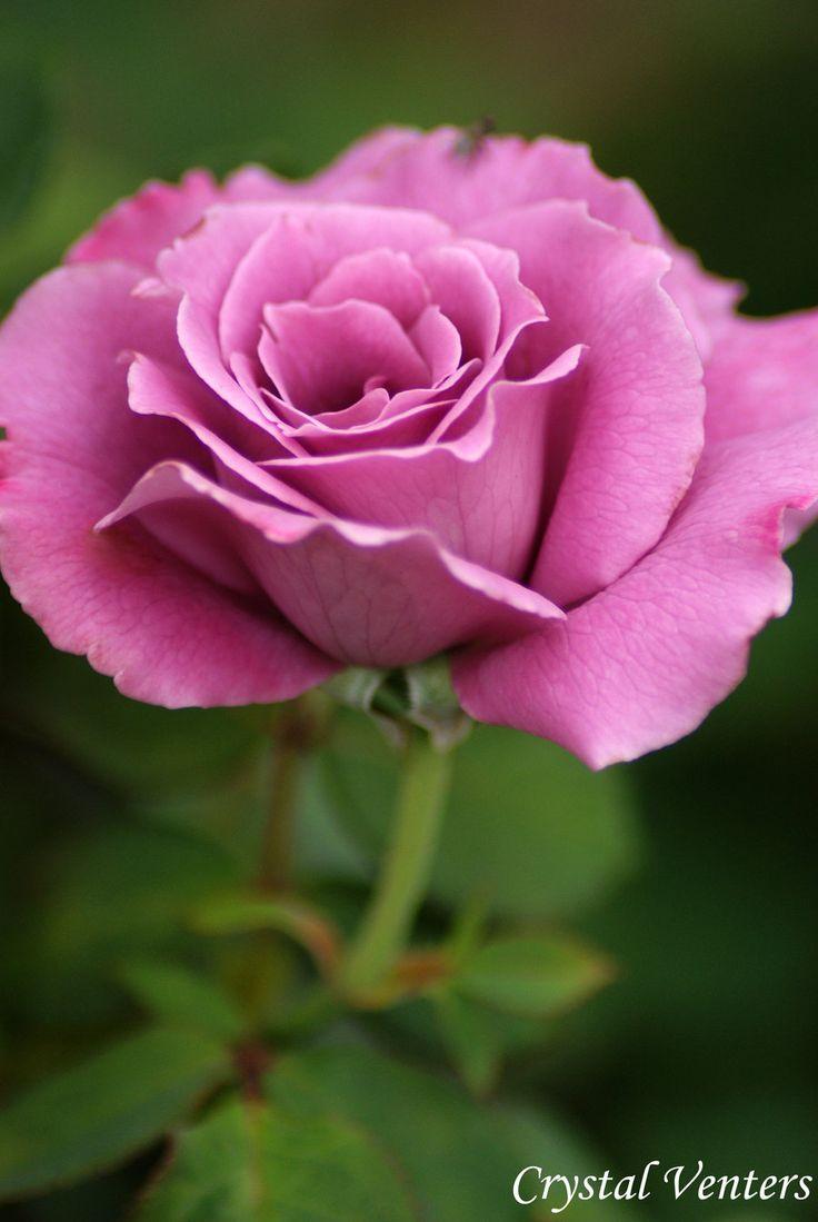 Purple Rose Bud by poetcrystaldawn.deviantart.com on @deviantART