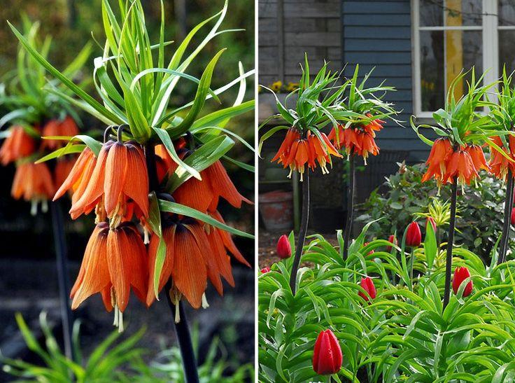 'Prolifera' är en kejsarkrona med dubbla rader av röda blommor.