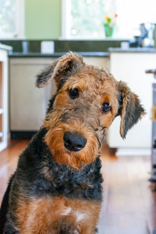 This is Stuart, our clownish and rambunctious Airedale Terror...eer,...Terrier. He was one of the 4 food testers in red shallot kitchen, but recently got fired for his unreliability (everything is good, especially those with bacon, sausages and cheese!) and his bad manners (licking dirty dishes inside a dishwasher is a no no! And that belching in people's face also gotta stop!)