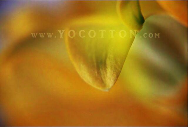 www.yocotton.com