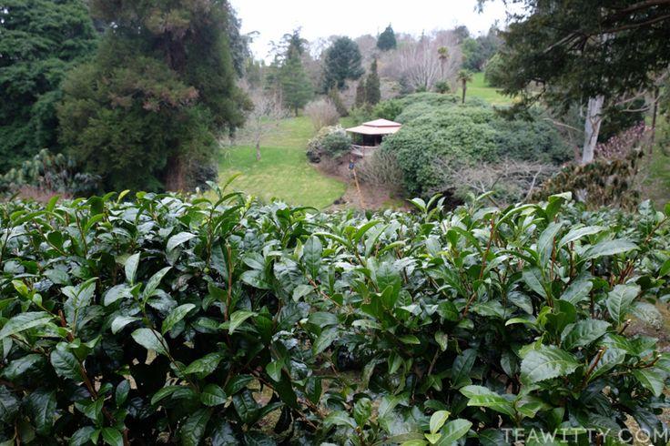 Tregothnan Estate, Cornwall, UK - Tea Plantation