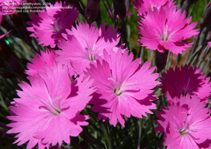 Dianthus Firewitch A Low Growing Reliable Perennial