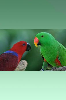 In most parrots, the genders look the same. But that's definitely not the case with eclectus parrots. As you see here, the female is red while the male is green. Naturalists spotted the first male eclectus in 1776, and the first female 61 years later. It was another 37 years before they realized the birds belonged to the same species! For the hows and whys, visit http://scienceblogs.com/grrlscientist/2008/07/22/evolution-of-the-enigmatic-ecl/