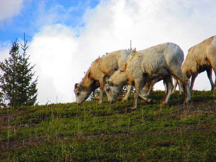 Mount Sheep, Jasper, Rocky Mountain, Alberta, Canada, Early Summer