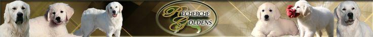 English Cream Golden Retrievers -Recherche Goldens.com