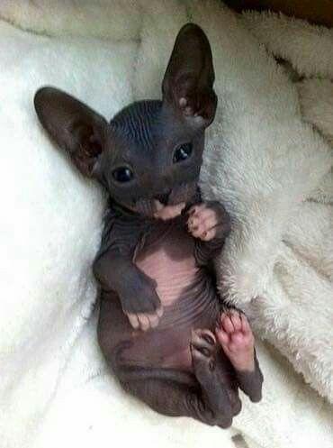 Spinx kitten